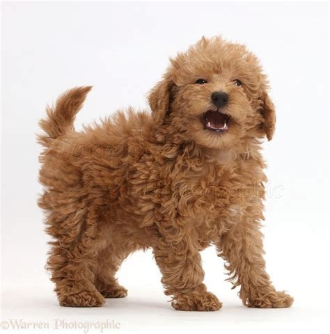 doodle puppy finder 17 best ideas about labradoodle on golden