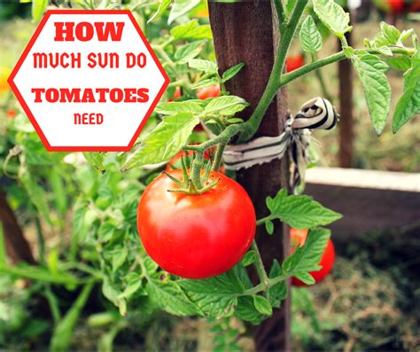 How Much Sun Do Tomatoes Need The Age Old Question How Much Sun Does A Vegetable Garden Need