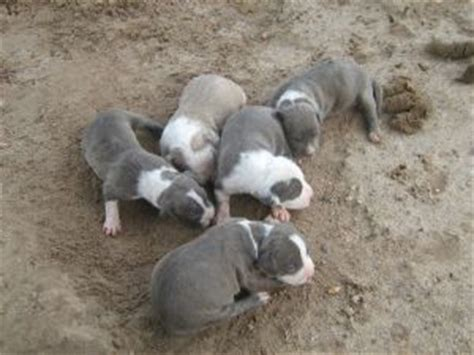 american pitbull terrier puppies for sale american pit bull terrier puppies in