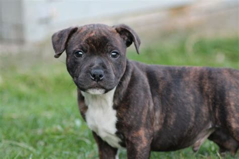 puppies photos health tested staffie puppies richmond pets4homes
