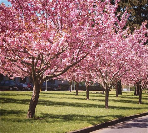 cherry tree kwanzan cherry for sale the tree center