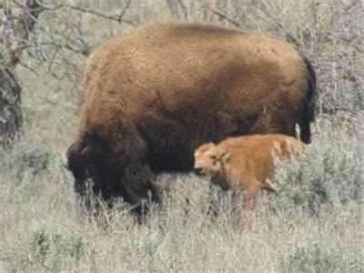 bison calf born on wyoming reservation for first time in