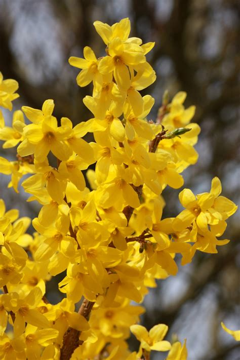 immagini di fiori gialli fiori gialli su albero immagine gratis domain