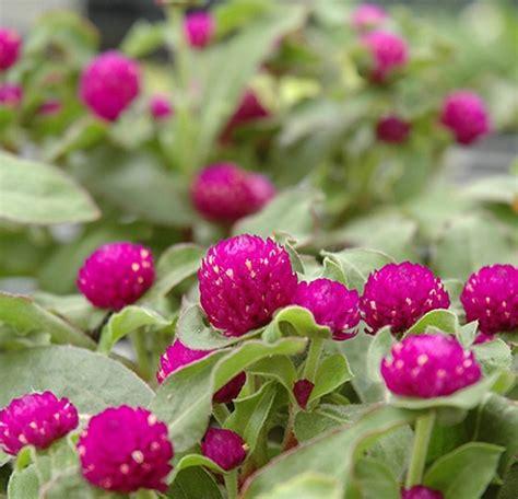 menanam  merawat bunga kancing gomphrena