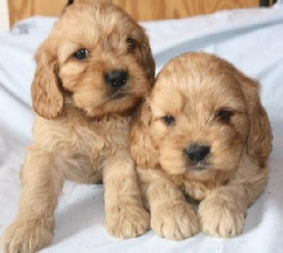 golden retriever cocker spaniel mix craigslist 25 best ideas about golden cocker retriever on