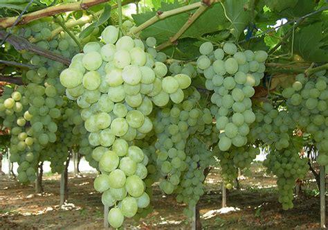 uva da tavola globe uva da tavola vitroplant italia srl societ 224 agricola si