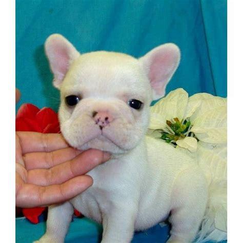 legendary homes design center greenville sc cuccioli bulldog francese in regalo cuccioli di