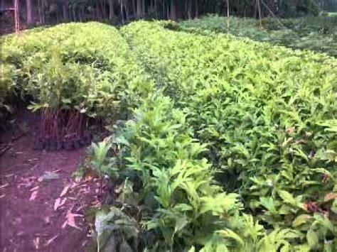 Jual Bibit Bambu Di Bandung Jual Bibit Sukun Di Bandung Jawa Barat