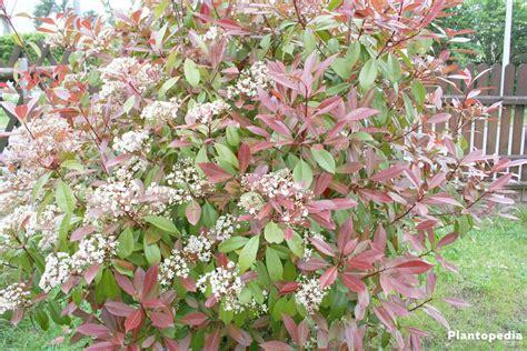 photinia robin tip photinia photinia fraseri robin hedge how