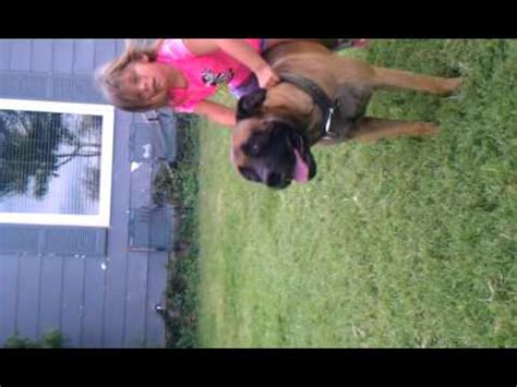bad dog 3 year old tries to ride a mastiff youtube