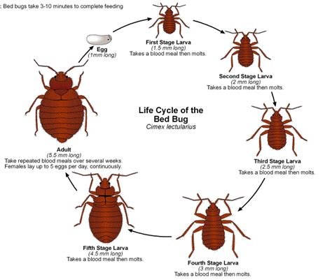 dust mites vs bed bugs bed bugs uncovered distinguishing bed bugs and dust mites