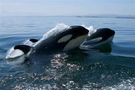 How To Find Out Where Live Find Out Where Killer Whales Live