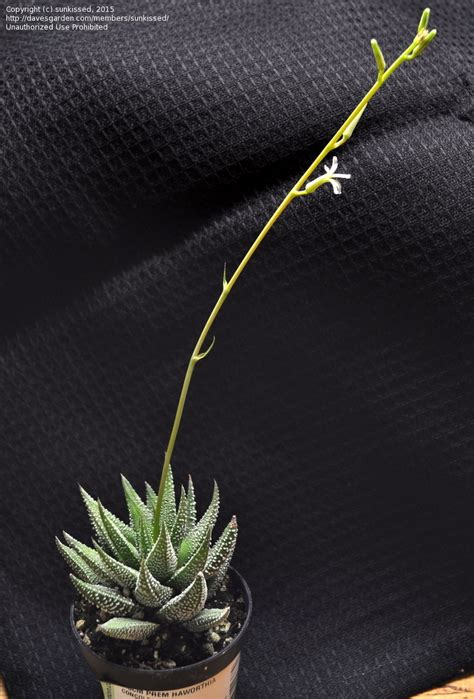 Usda Home Search plantfiles pictures haworthia haworthia fasciata var