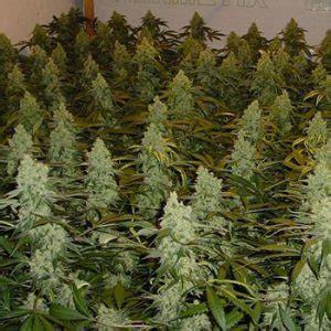 grow marijuana  love growing marijuana