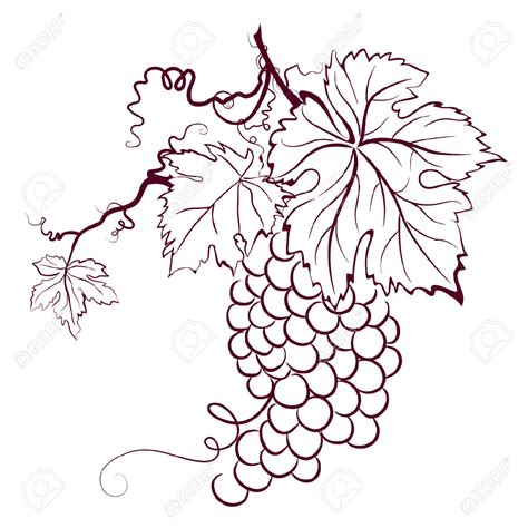 Drawn Grapes Grape Leaf Pencil And In Color Drawn Grapes   drawn grapes grape vine pencil and in color drawn grapes