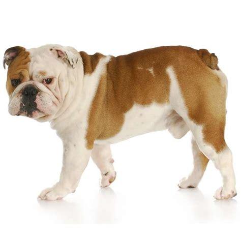 cani consigliati per appartamento dermatite nei bulldog inglesi