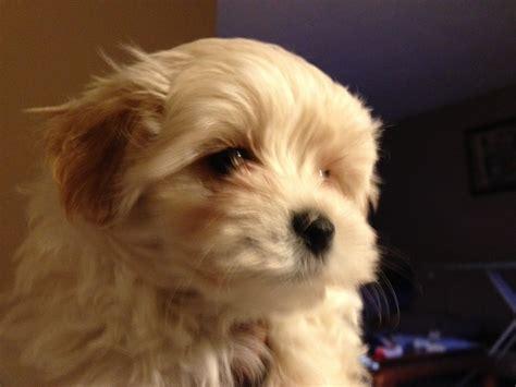 yorkie maltese poodle maltese yorkie poodle teddy