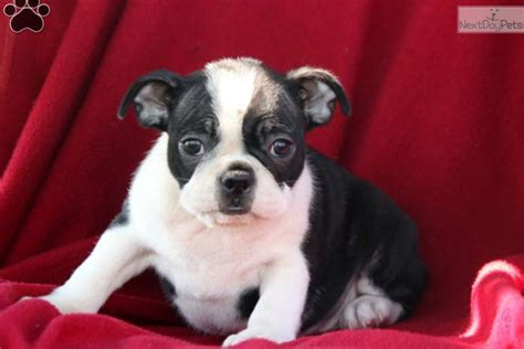 boston terrier puppies near me boston terrier puppy for sale near lancaster pennsylvania b24f8629 00b1