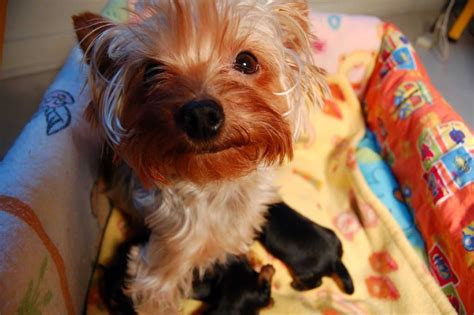 best way to introduce dogs 12 best ways to introduce your terrier to your baby reference