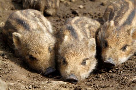 bettdecke tiere regional ansaessige tiere im wald teil1 das wildschwein