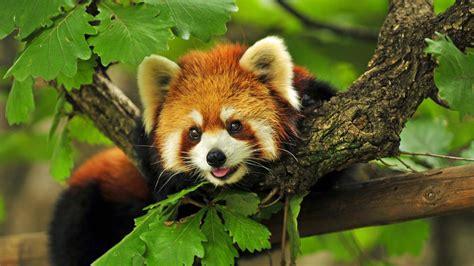 Annica Boy Set Panda Green panda 4k wallpapers
