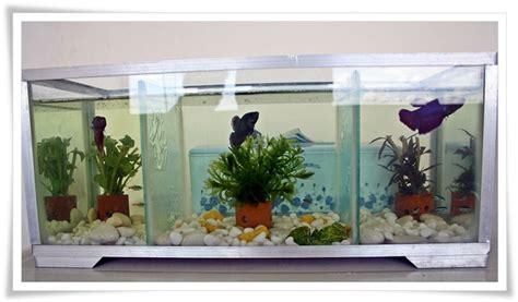 Aquarium Khusus Cupang hendra budiarto hobi baru pelihara ikan cupang