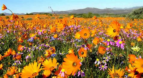 Flowers Free Sul namaqualand the blooming desert of south africa travel