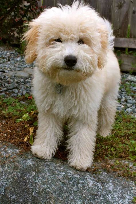 dogs puppies woodle terrier x poodle info history temperament pictures