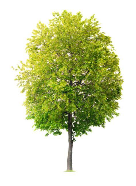 fiori di tiglio tiglio propriet 224 benefici e controindicazioni tuttogreen