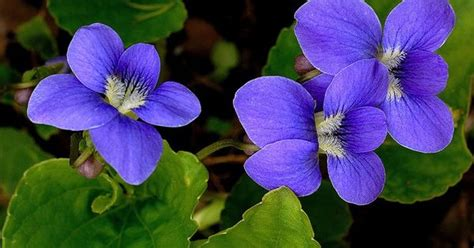 new jersey state flower common meadow violet nj state flower violet tattoo ideas pinterest