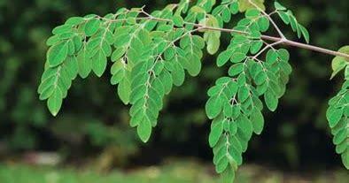 nutrisi daun kelor  manfaatnya bagi kesehatan manfaat