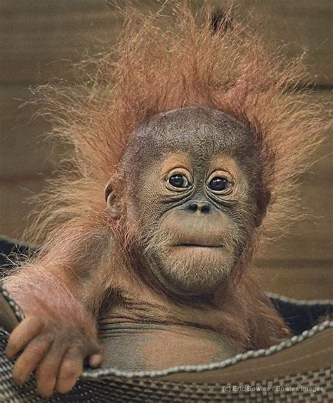 monkeys in the bed pongo has a serious case of bed head orangutans adopt