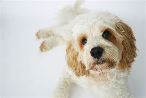 dogs dogs jet cavoodle the therapy dogslife breeds magazine