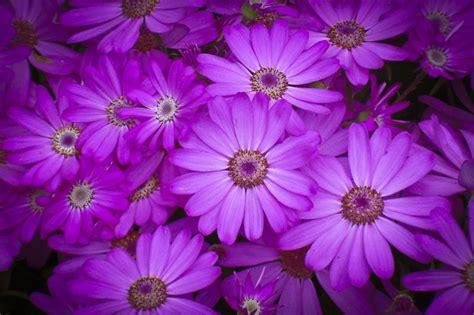 imagenes de rosas moradas wallpapers fotos moradas imagui