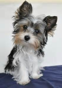 yorkie neutering yorkie terriers and shelters on