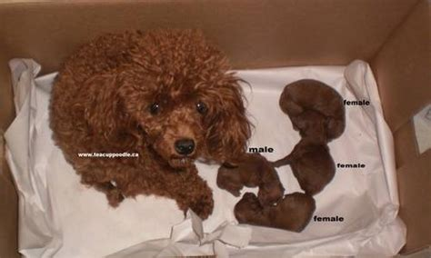 teacup poodle lifespan object moved