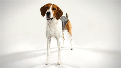 types of hound dogs american foxhound breed selector animal planet