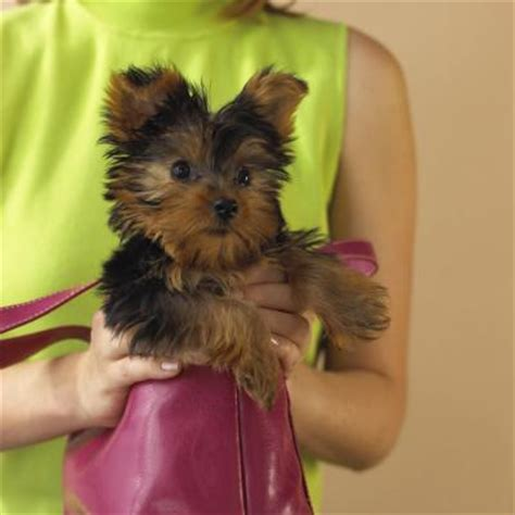 different grooming styles for yorkie ppos addison s disease vs liver shunt in dogs dog care