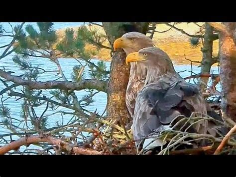 critter room live stream eagle s nest live stream clip60