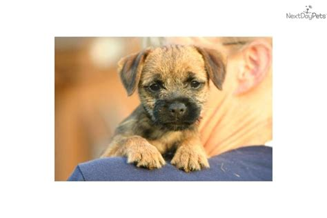 boston terrier puppies for sale cincinnati ohio border terrier for sale for 995 near cincinnati ohio 2d9ea1af f9f1