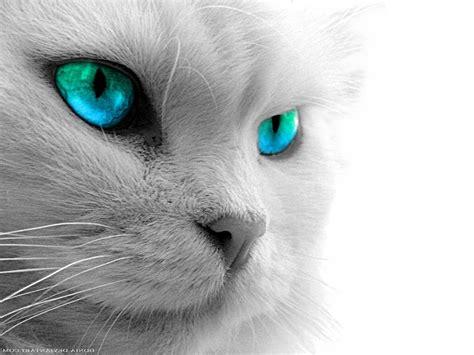 wallpaper cat eyes animals zoo park black cat eyes wallpapers blue cat eyes