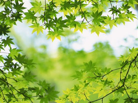 wallpaper green leaves on white background green images green leaves hd wallpaper and background