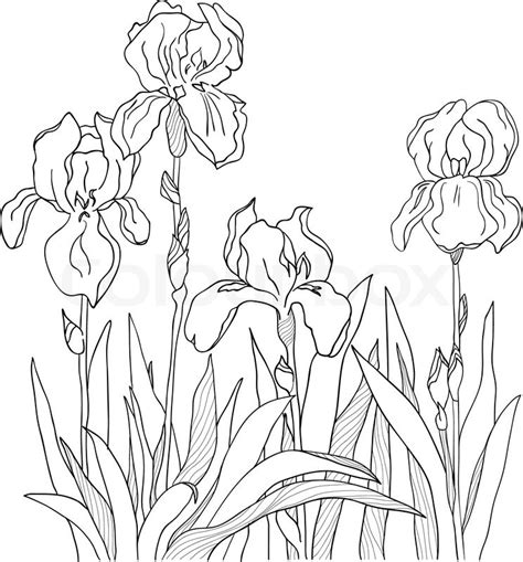 Iris Outline by Iris Outline Drawing Images Line Drawings Of Irises Outlines Iris And