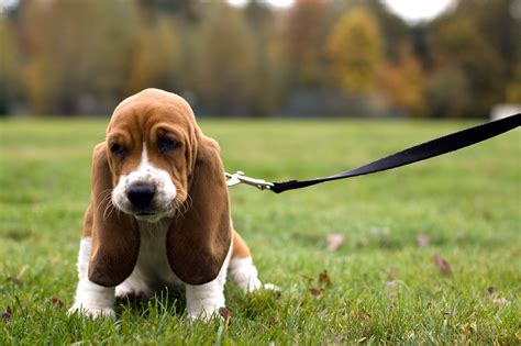 beagle basset hound puppies fascinating breed name origins reader s digest