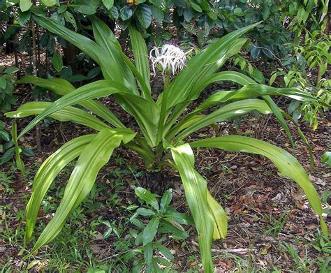 lilies or lillies crinum pedunculatum wikipedia