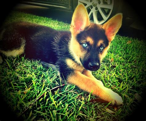 german shepherd and husky puppies german shepherd husky puppy animals