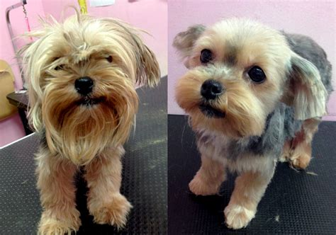 shih tzu haircuts before and after relic shih tzu before after torrance dog grooming pet