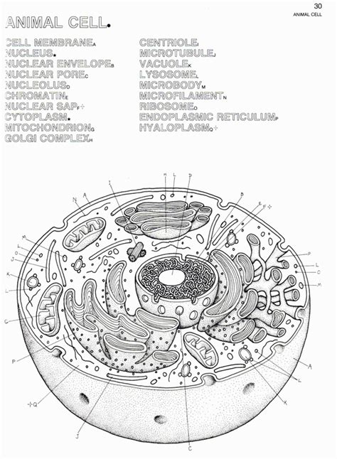 animal cell coloring sheet animal cell structure az coloring pages
