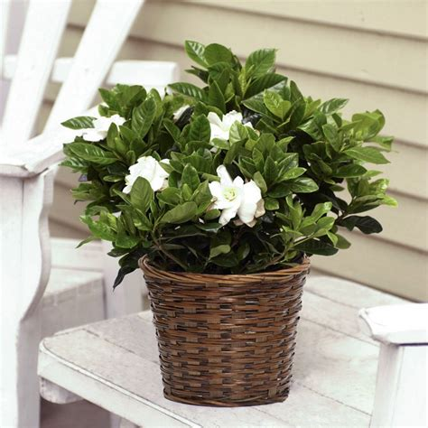 Gardenia House Plant Gardenia In Basket Flowering Plants House Plants