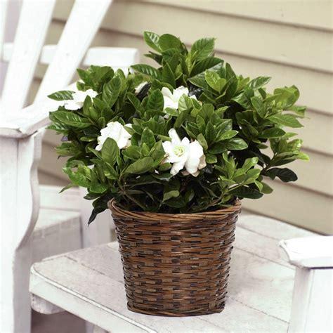 fragrant gardenia  woven basket flowering plants